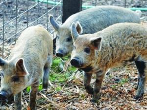 Giống lợn cừu - Trường huấn luyện chó 276