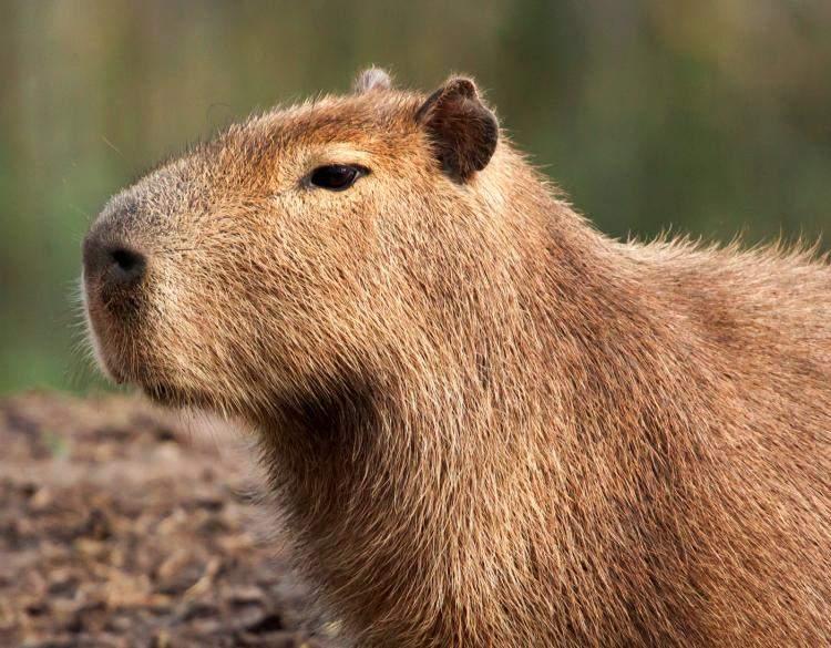Cận cảnh chú chuột capybara khổng lồ