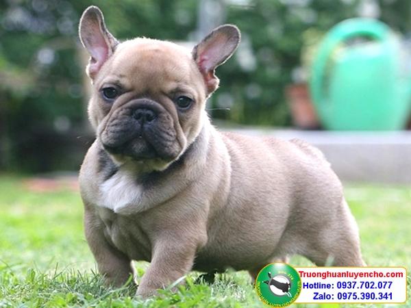 truong-huan-luyen-cho-nghiep-vu-ban-cho-bulldog-3