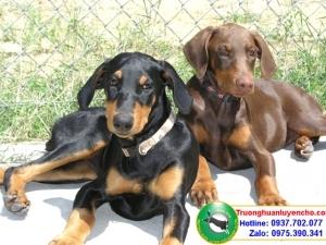 Chăm sóc chó sinh - Trường Huấn Luyện Chó 276