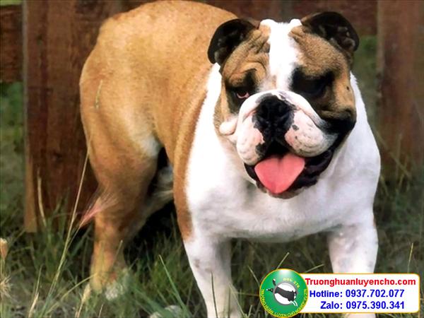 ban cho bulldog