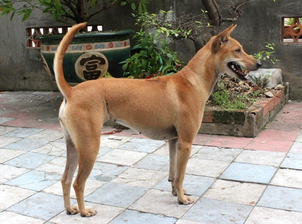 Huấn luyện chó Phú Quốc Anh Quang Quận 2