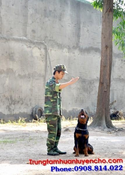 Huấn luyện chó Anh Giang Quận Tân Phú