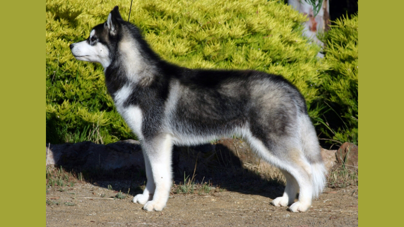 Siberian-husky-truong-huan-luyen-cho-276
