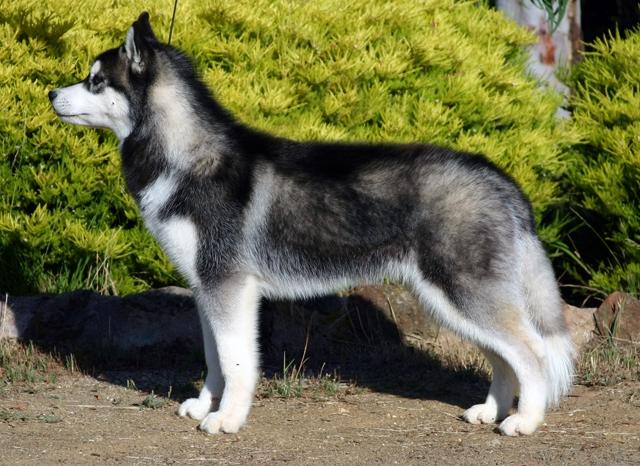Husky - Trường huấn luyện chó 276
