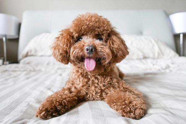 Cach – huan – luyen – cho – Poodle – co – ban – tai – nha - 2