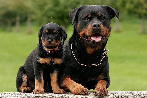 Cach – huan – luyen – cho – Rottweiler – co – ban – tai – nha - 1