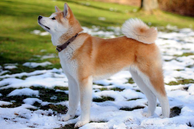 chó-Akita