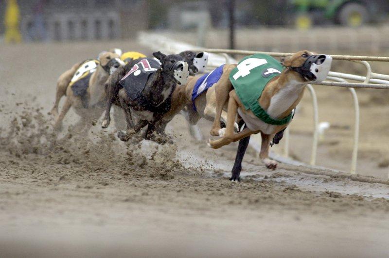 Greyhound – Nhung – tay – dua – cu – khoi – cua – the – gioi – loai – cho - 1