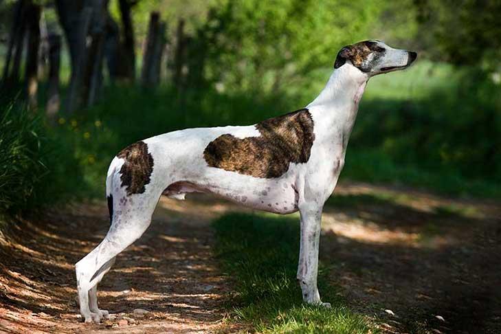 Greyhound – Nhung – tay – dua – cu – khoi – cua – the – gioi – loai – cho - 2
