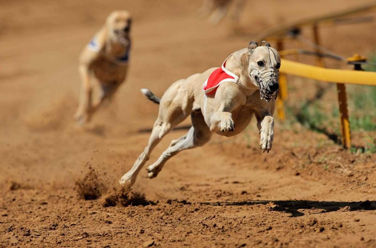 Greyhound – Nhung – tay – dua – cu – khoi – cua – the – gioi – loai – cho - 3