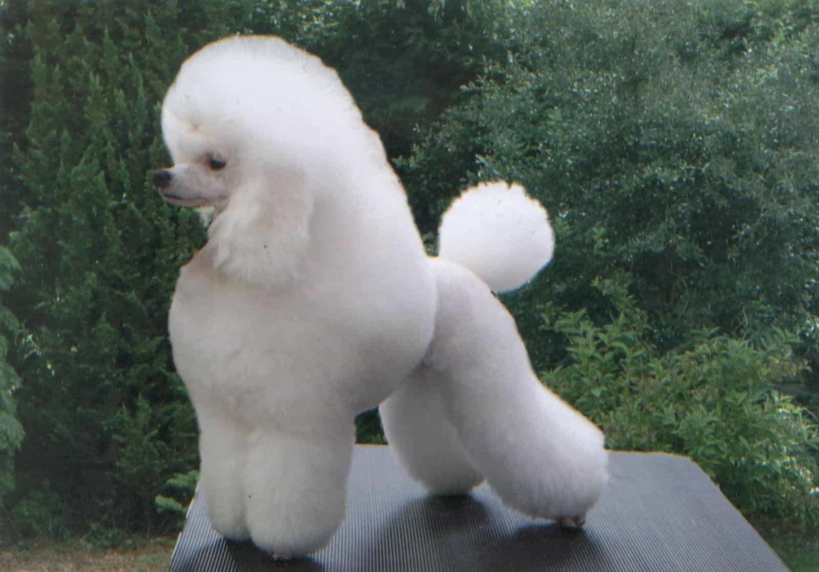 Nhung – mau – cat – tia – long – cho – giong – cho – Poodle – pho – bien – hien – nay - 2