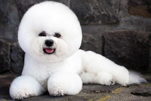 Nhung – mau – cat – tia – long – cho – giong – cho – Poodle – pho – bien – hien – nay - 4
